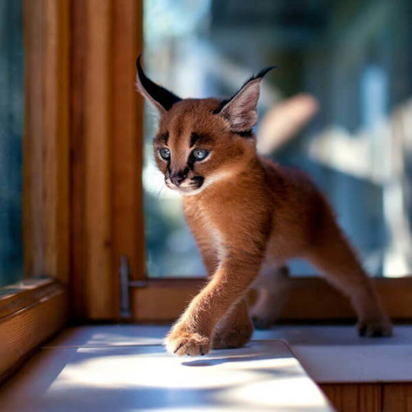 1. This cat looks majestic- something like its cousin (tiger), as it seems to be sauntering towards something.