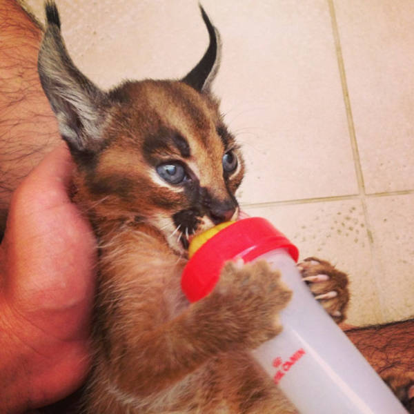 18. How many would see a caracal cat, a cat worshipped in Egypt sucking from a feeding bottle